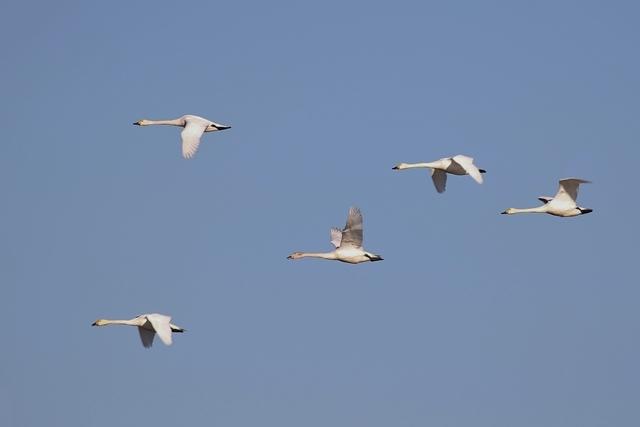 白鳥飛翔.JPG